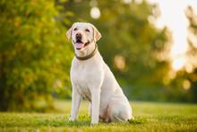 Happy Purebred Labrador Retrie...