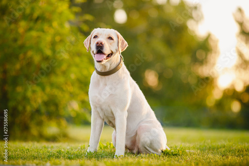 Happy purebred labrador retriever dog outdoors sitting on grass park sunny summe Canvas Print