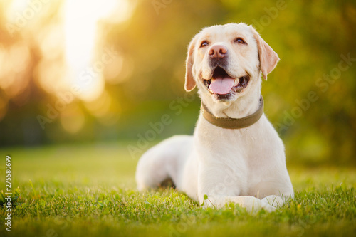 Fotografía Active, smile and happy purebred labrador retriever dog outdoors in grass park o