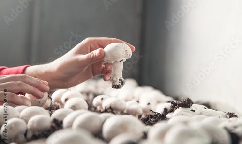 Hand holding mushroom champignon in farm. Tablou Canvas