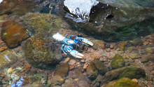 A Lamington Spiny Cray In A Waterfall Pool