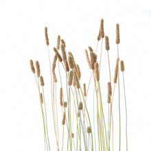 Grass Foxtails Isolated On White Background.  Flowering Stems Of Wild Field Grass.