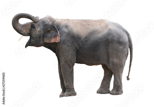 Ingelijste posters Olifant Asian elephant is isolated on white background with clipping path.