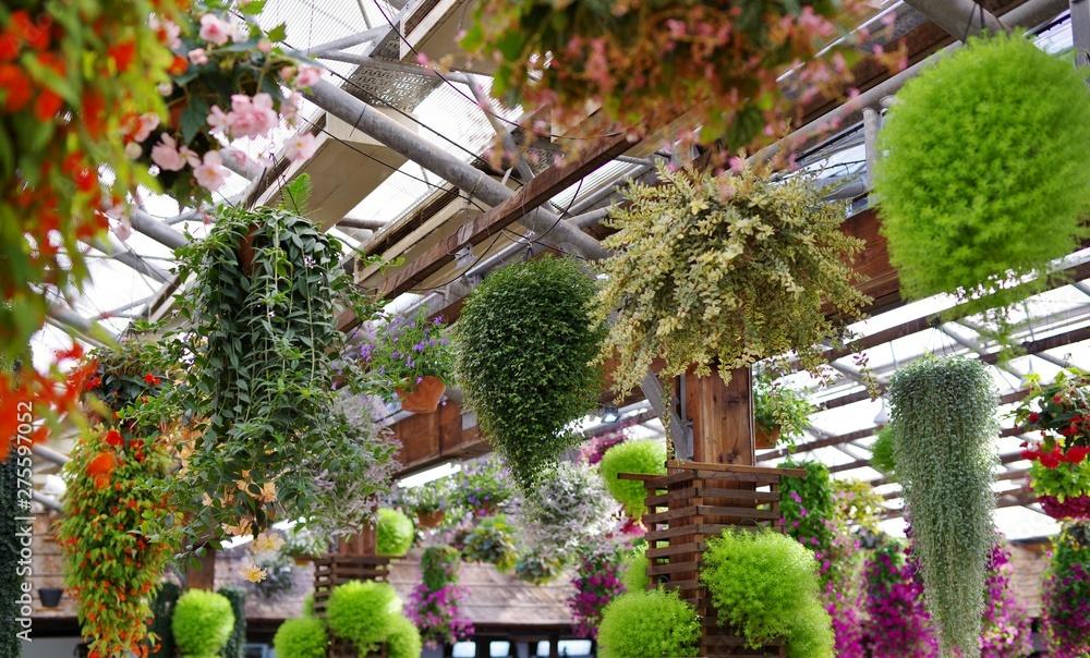 Fototapety, obrazy: 植物園の温室で育てられる満開の花