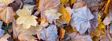 Dry Maple Leaves, Covered With...