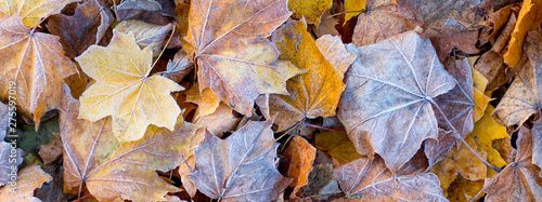Fotografía Dry maple leaves, covered with frost, on the ground in the fall_