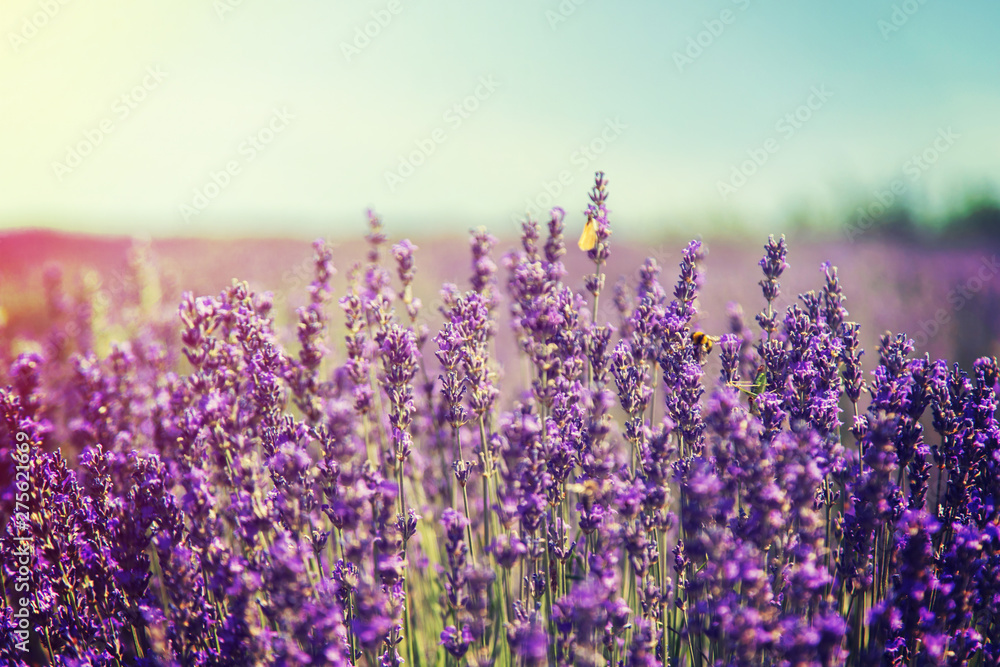 Fototapety, obrazy: Blooming lavender field. Summer flowers. Selective focus.