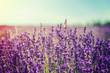 Blooming lavender field. Summer flowers. Selective focus.
