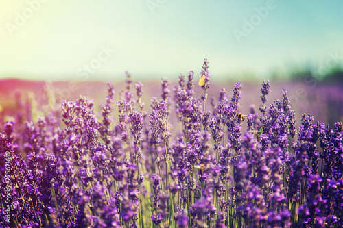 Blooming lavender field. Summer flowers. Selective focus. Wallpaper Mural