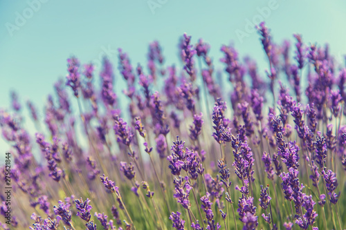 Photo sur Toile Lavande Blooming lavender field. Summer flowers. Selective focus.