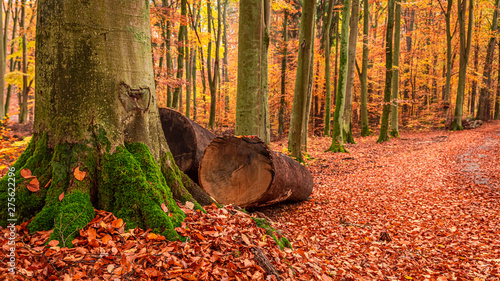 Poster Corail Brown trees and leaves in the autumn forest, Poland