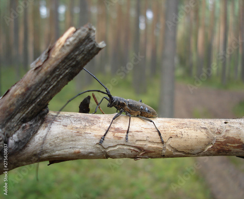 Spoed Foto op Canvas Bruggen Longhorn beetle on a dry pine-tree branch in natural forest environment. Close-up side view, selective focus, blurred background