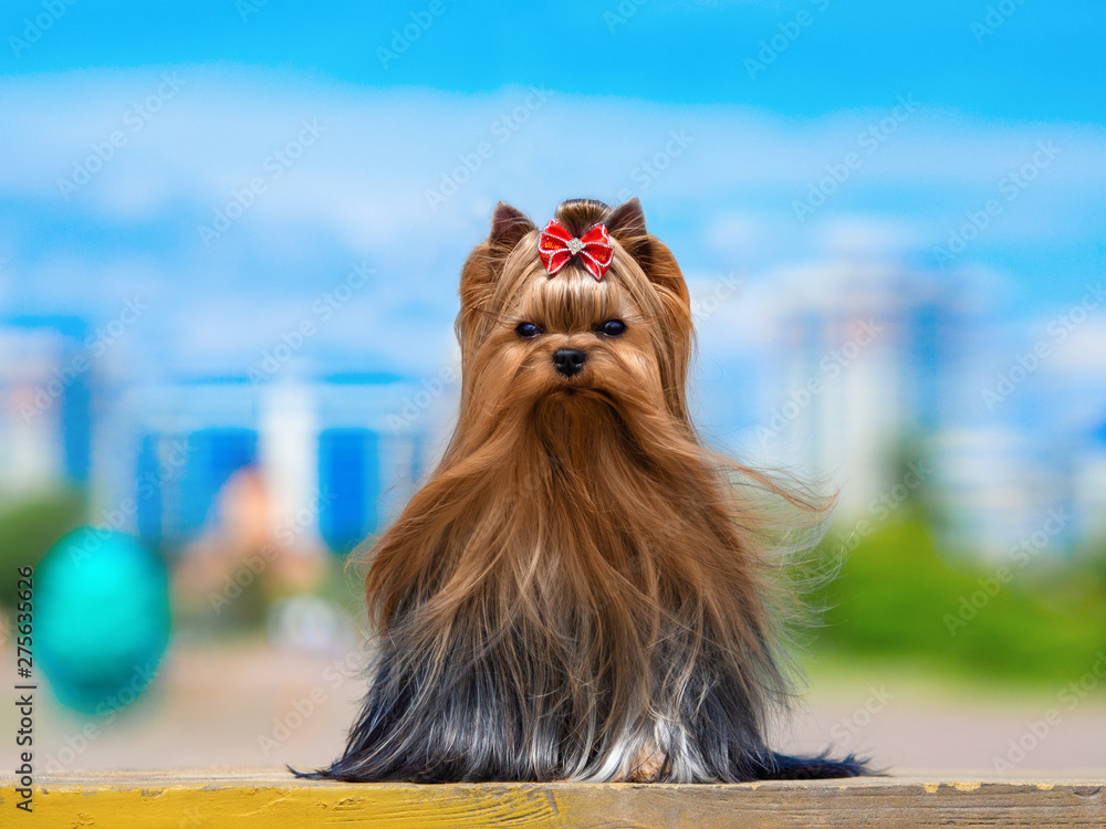 Fototapety, obrazy: Cute Yorkshire Terrier Dog Playing in the Yard