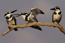 Black And White Birds Sitting On Branch