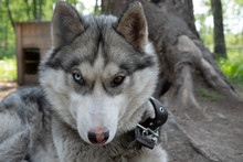 Dog Breed Husky On The Chain. ...