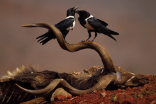 Twopied Crows On Antelope Carcass, South Africa