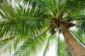 Fototapeta Drzewa beautiful palm tree