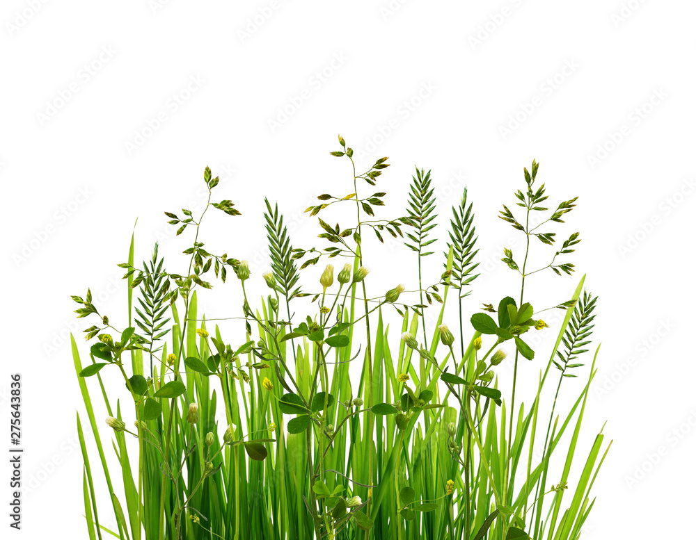 Fototapety, obrazy: Wild green grass isolated on white background