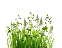 Wild Green Grass Isolated On White Background