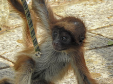 Baby Spider Monkey Holds A Rope