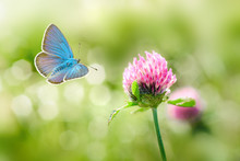 Wild Clover Flowers And Blue Butterfly Macro