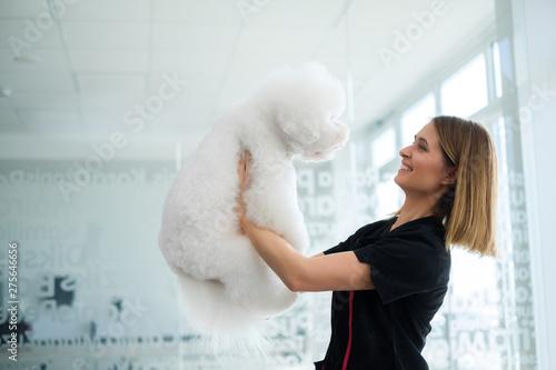 Canvas Print Bichon Fries at a dog grooming salon