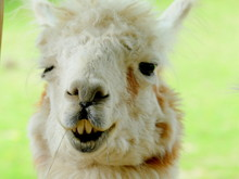 Funny Lama Portrait