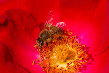 Close Up Of Bee Collecting Pollen Inside Red Rose Flower