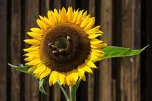 Sunflower (Helianthus Annuus),...