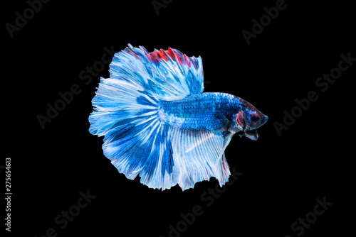 Fotomural  Blue siamese fighting fish or betta on black background.