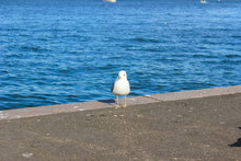 Gull Is Walking On The Pier. H...
