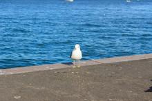 Gull Is Walking On The Pier. Helsinki, Finland