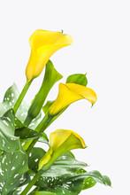 Beautiful Yellow Calla Lilies On White Background