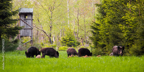 Tableau sur Toile Wild boar group