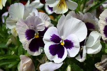 White And Purple Pansies Are Blooming On The Flower Bed