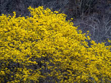 Yellow Kibrahacha (Tabebuia Billbergii)  Trees.on The Caribbean Island Of Curacao