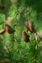 Young Cones On Green Needles