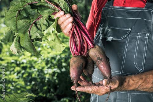 Fototapeta  Farmer holding fresh beet