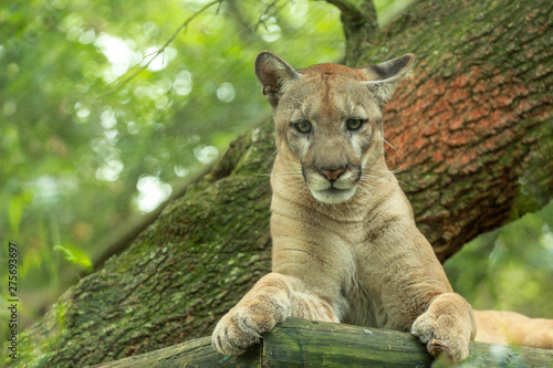 Poster Puma Portrait of a FLorida Panther