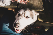 Cute Dog - A Hungry Pet Looks Out From Under The Table Begging For A Treat