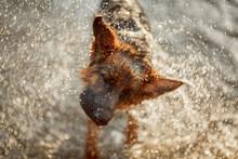 German Shepherd Dog Swimming In The River