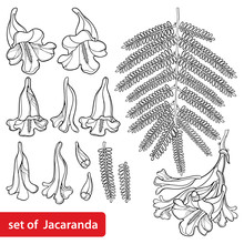 Set Of Outline Blossoming Jacaranda Mimosifolia Flower Bunch, Bud And Leaves In Black Isolated On White Background.