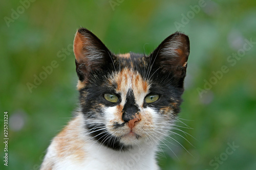 Door stickers Cat Hauskatze (Felis silvestris catus) - cat