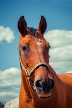 Portrait Of A Horse Close Up. Flies.