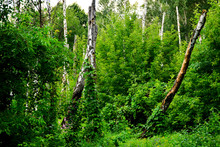 Broken Birch Trees In The Forest