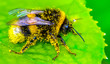 canvas print picture - Image of bee or honeybee on yellow flower collects nectar. Golden honeybee on flower pollen with space blur background for text. Insect. Animal