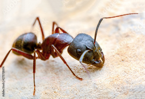 Beautiful Strong jaws of red ant close-up Canvas Print