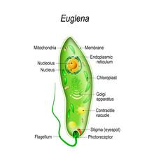 Anatomy Of Euglena
