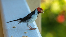 A Red Crested Cardinal In Hawa...