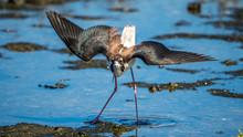 Hawaiian Stilt Dancing On A Mud Flat To Catch Food.